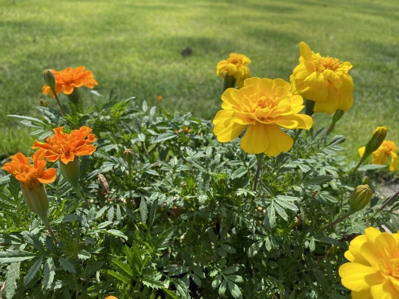 マリーゴールドの花写真